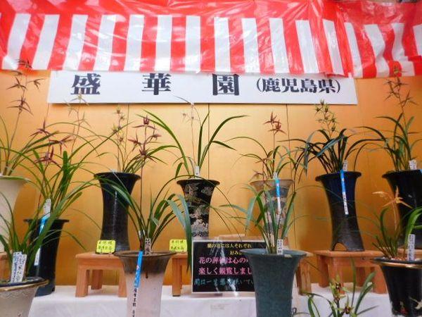 2020年 盛華園 寒蘭展示・即売会開催中サムネイル