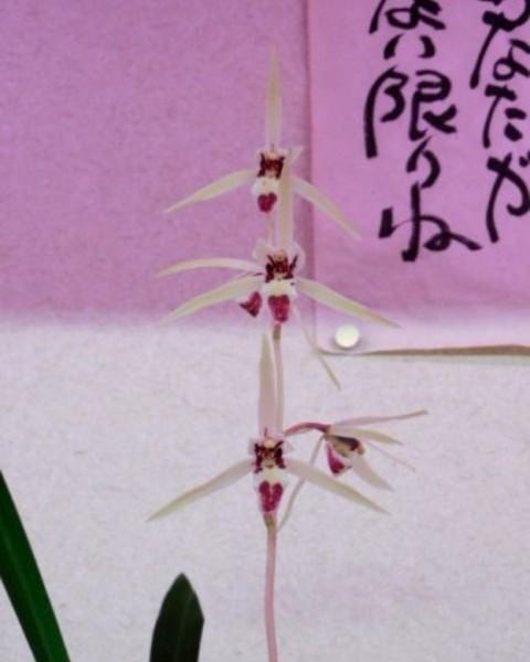 1/7 寒蘭 産地不詳 【神(カムイ)】〈仮称〉 古木2本立 売切れました