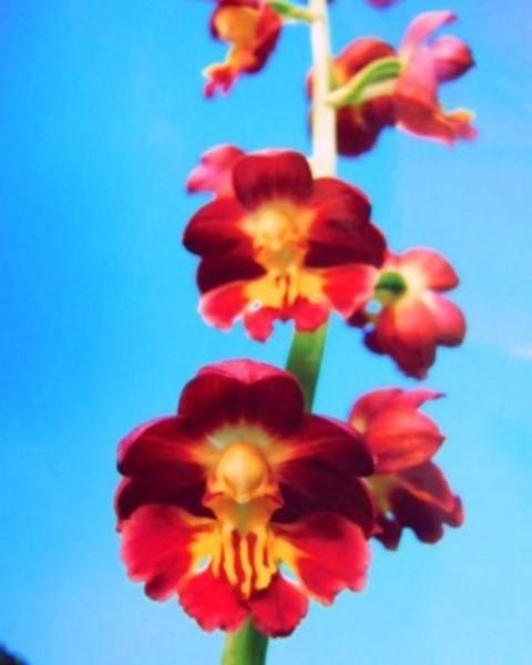 1/13 えびね蘭 【紅玉 こうぎょく】 紅梅弁花 売切れました