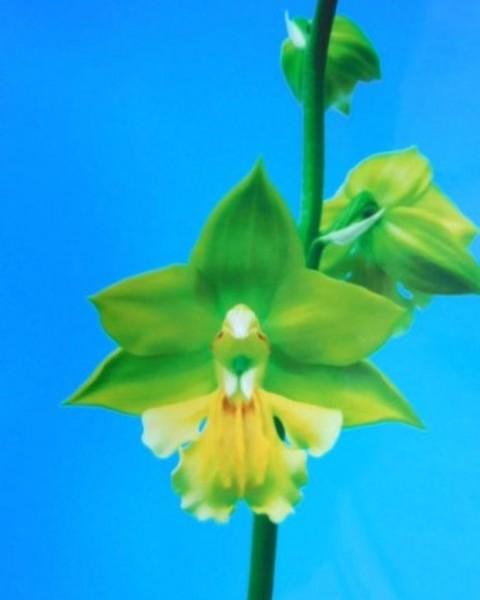 1/13 えびね蘭 イシズチ 【北の雷】 黄緑弁黄舌 今春開花見込み株 売切れました