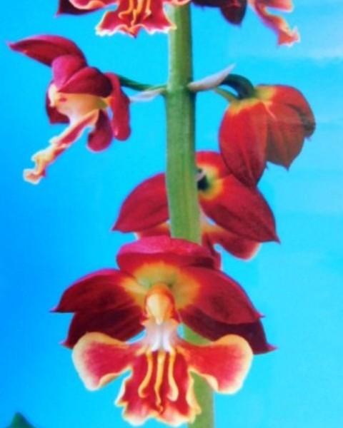 1/13 えびね蘭 無名 紅花覆輪舌 花芽可 売切れました