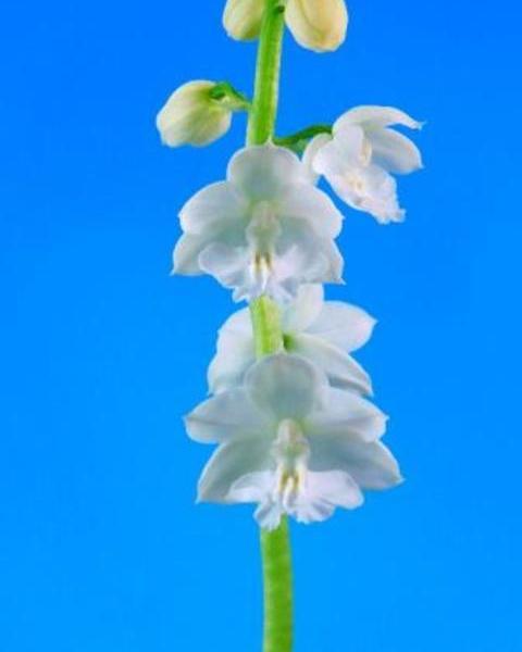 1/29 えびね蘭 【新人 しんじん】 白花特上 今春開花見込み株 売切れました