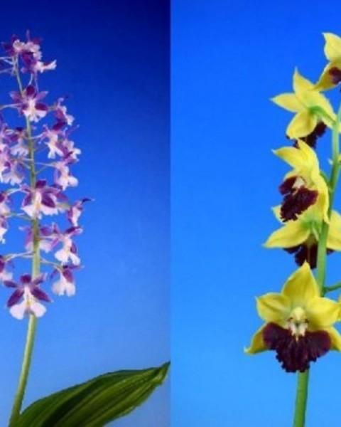 2/10 えびね蘭 交配苗 【御蔵紺青香×天竺】 花芽付 売切れました