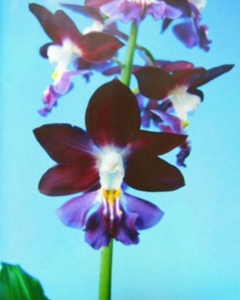 2/12 えびね蘭 【優香 ほのか】 黒紫弁紫舌 花芽付 売切れました