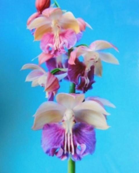 2/14 えびね蘭 【夢百景】 白桃紫系特大舌花 花芽付 売切れました