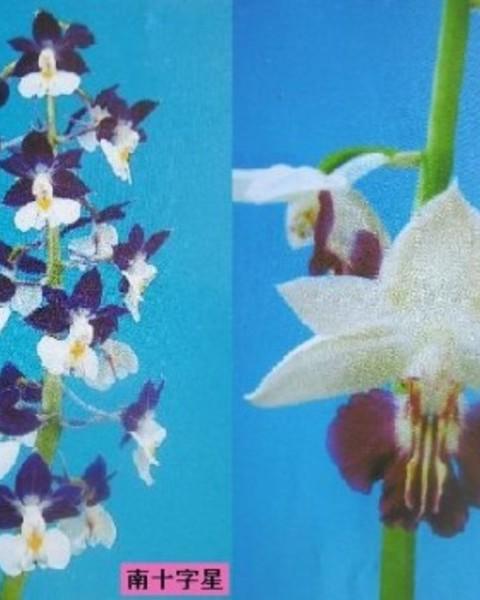 2/15 えびね蘭 交配苗 〈南十字星×万葉の翔〉 売切れました