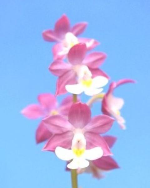 2/15 えびね蘭 自然種ニオイ 【島の羽衣】 売切れました