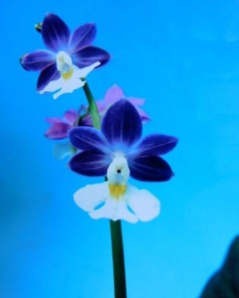 2/21 えびね蘭 ニオイ系 【青い稲妻】 青紫弁白舌 花芽可 売切れました