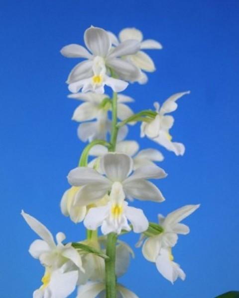 2/24 えびね蘭 【白翔香】 コオズ白花特上 花芽付 売切れました