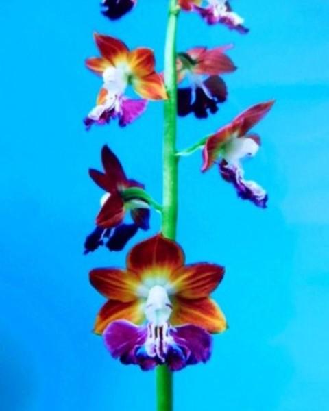 3/8 えびね蘭 【太古の極】 紅黄弁極紫舌 花芽付 売切れました