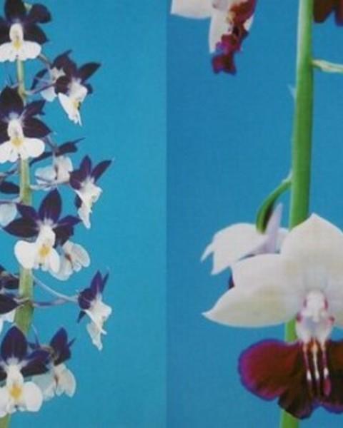 3/9 えびね蘭 人工交配苗 〈南十字星×千年の祈〉  売切れました
