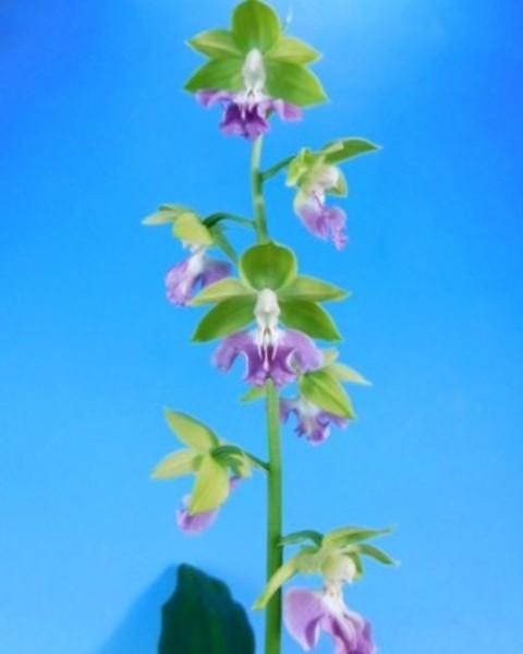 4/18 えびね蘭 2020年新花 無名 若緑弁ブルー紫舌 花付き 売切れました