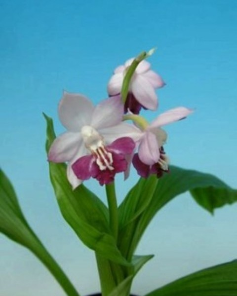 4/19 えびね蘭 交配種 初花 無名  売切れました