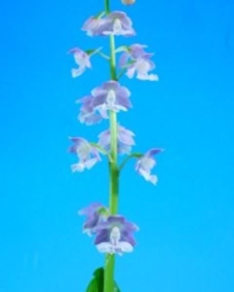 7/17 えびね蘭 2020年新花 【星珠 ほしたま】 紫弁白舌 上木+古木付