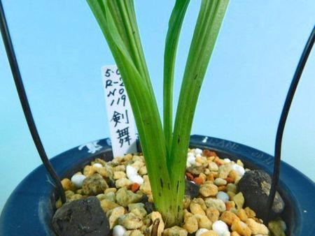 7/17 えびね蘭 2020年新花 【剣舞 けんぶ】 鮮黄弁濃紫舌 上木