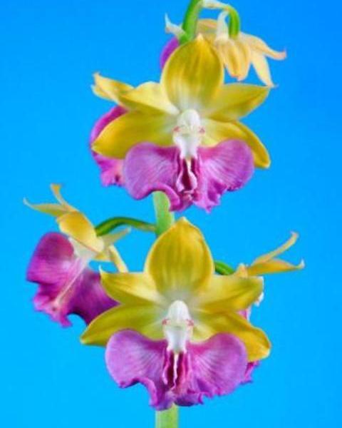 9/2 えびね蘭 【翔 かける】 黄金色弁紫一枚大舌 中木 売切れました