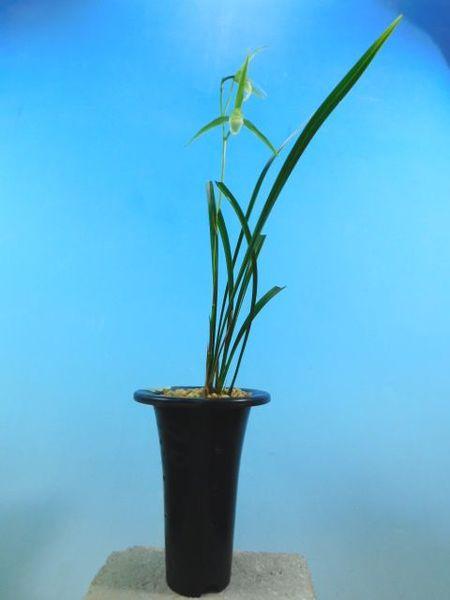 11/13 寒蘭  払越産 無名 白花 売切れました