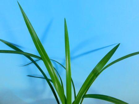 12/25 長崎県産 寒蘭 【白西の誉〈仮称〉】 更紗無点大輪 4本立
